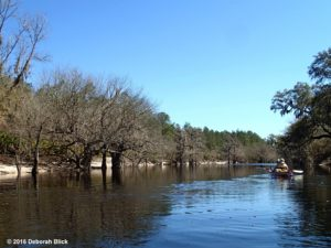 White sand banks and tupelo trees along the upper Suwannee.