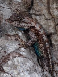 Male Eastern Fence lizard (Sceloporus undulatus). The males have the blue belly patches with rusty bars, the females are darker with brown/black bars
