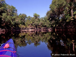 Typical scenery along the upper Suwannee. High water-eroded limestone bluffs with cypress, oaks and pine trees.