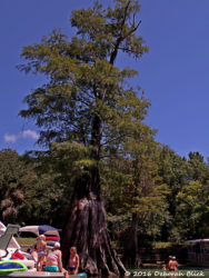 Magnificent old cypress tree in Rock Bluff Spring near Little Lake City, FL. By 1 pm it was wall-to-wall motor boats, so we continued on down the river.