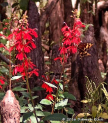 Cardinal Flower (Lobelia cardinalis) with Eastern Black Swallowtail (Papilio polyxenes).