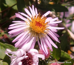 Late Purple Aster bloom