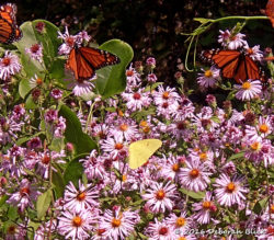 Monarchs (Danaus plexippus) and Clouded Sulphur (Colias philodice)