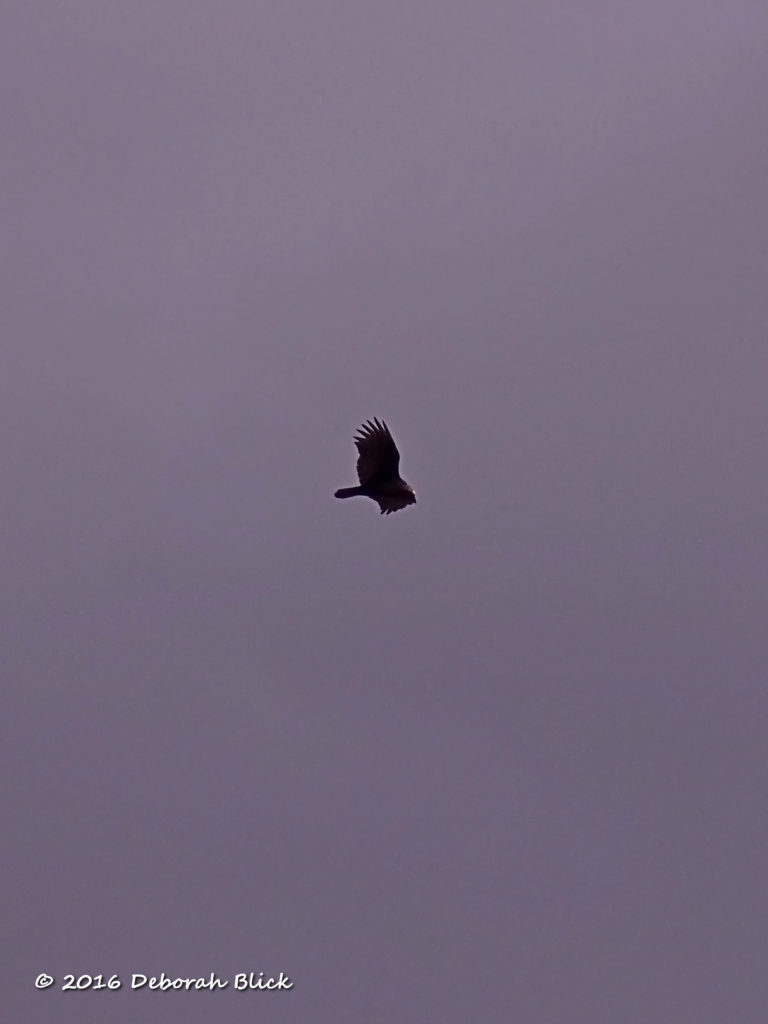 A black vulture circling