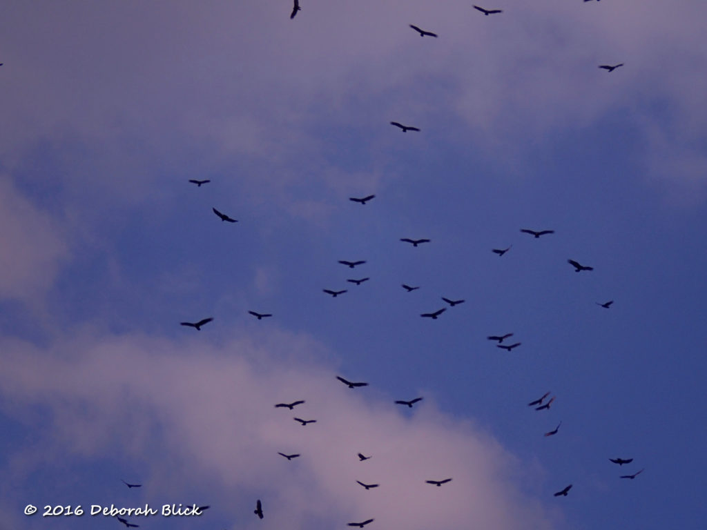 Black and Turkey vultures circling before roosting for the night