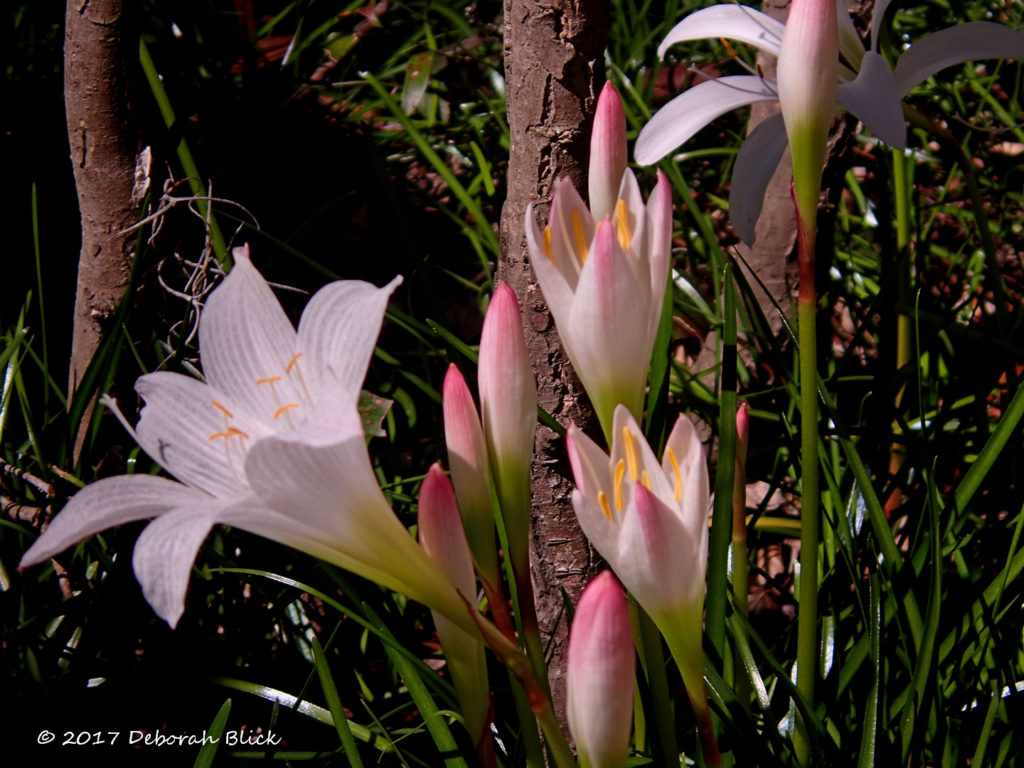 Atamasco Lilies (Zephyranthes atamasca) at Little River Springs