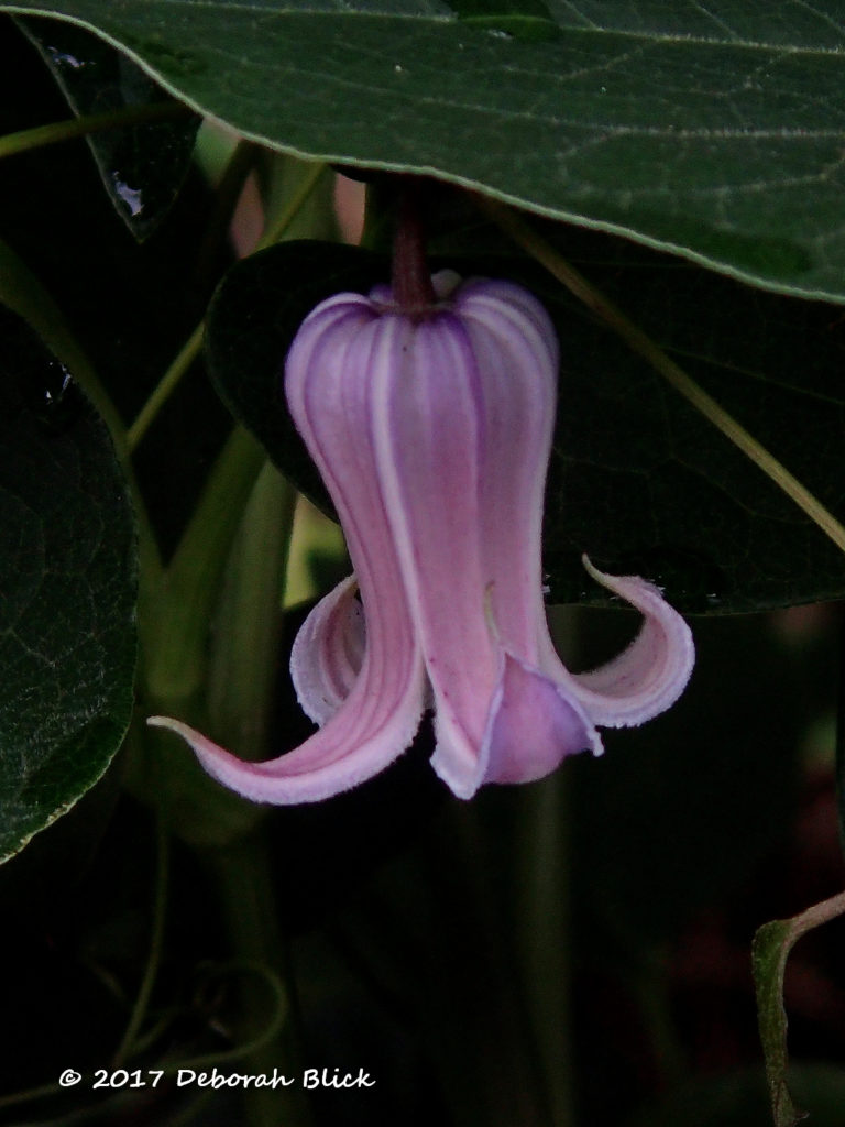 Swamp leatherflower (Clematis crispa)