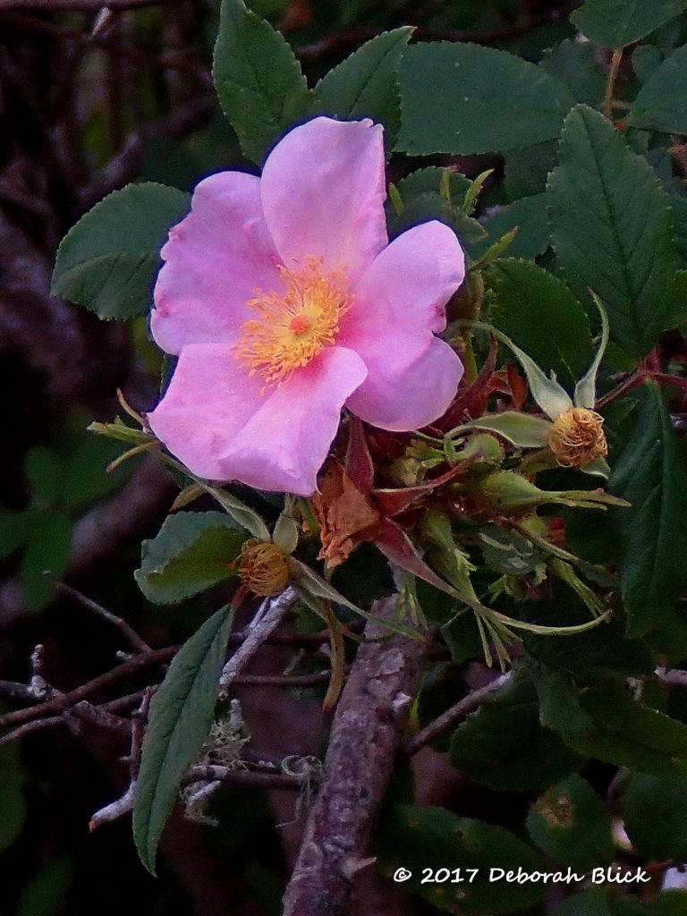 Swamp Rose or Marsh Rose (Rosa palustris)