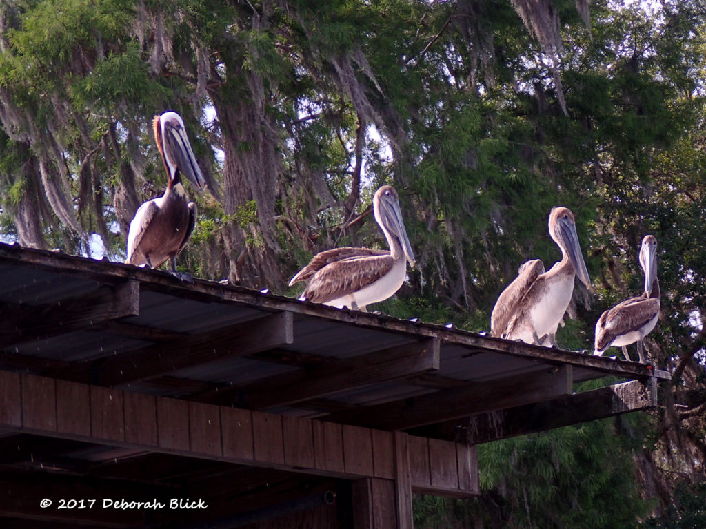 Pelicans greeting us at Bill's Fish Camp