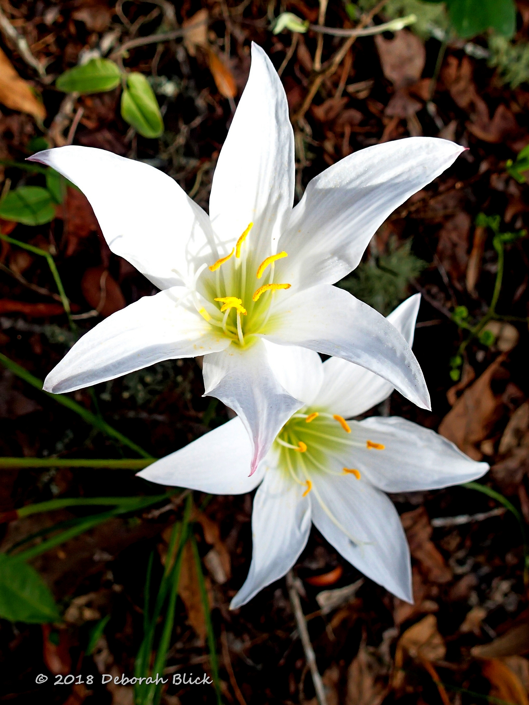 Plants 5 star yak pak atamasco lily or rain lily zephyranthes atamasco mightylinksfo