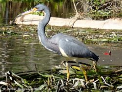 Tricolored Heron (Egretta tricolor) stalking in the water weeds.