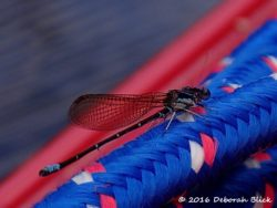 Blue-fronted Dancer damselfly (Argia apicalis) attracted to my red boat.