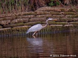 Great Blue Heron (Ardea herodias) looking for supper along the sea wall.